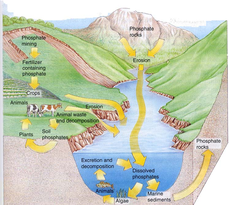 the phosphorous cycle The phosphorus cycle is the slowest one of the matter cycles that are described here phosphorus is most commonly found in rock formations and ocean sediments as phosphate salts phosphate salts that are released from rocks through weathering usually dissolve in soil water and will be absorbed by plants.